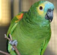 Missing Parrot!